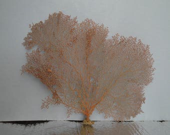 "13.5"" x 9"" Pacifigorgia Red  Sea Fan Seashells Reef Coral"