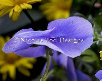 Dancing Purple Pansy- nature photo