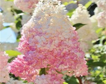 Vanilla Strawberry Hydrangea Flower Seeds.  Qty. 20 Seeds