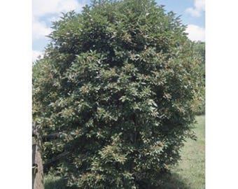 10 Silky Dogwood Tree Seeds, Cornus amomum