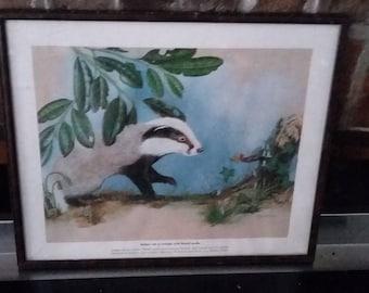 Vintage Badger Print 'Badger Cub at Twilight with Herald moths'