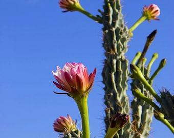 "Mexican Ghost Pipe Cactus (Stenocereus thurberi), Live Plant in 4"" Ecofriendly Biodegradable Coconut Fiber Pot"