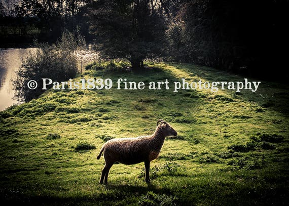 Sheep Wall Art, Instant Download Sheep, Fine Art Photography, Sheep Art Prints, Farmhouse Wall Decor Living Room, Sheep Pictures To Print