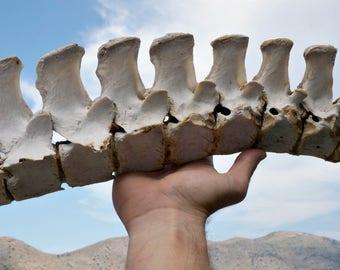 Huge Horse Spine - Real Animal Spine - Animal Skeleton -  Creepy Voodoo Supplies - Macabre Art Project - Taxidermy - Natural Animal Bones