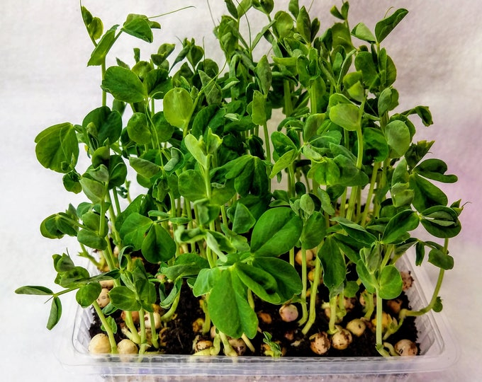 Featured listing image: Crunchy Greens, Window MicroFarm Pea Shoot Kit, 3 Trays of Flavorful and Beautiful Fresh Pea Shoots