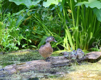Wood Duck with Chicks Photograph // Bird Photography // Nature Photography Print