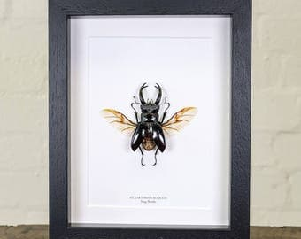 Winged Stag Beetle in Box Frame (Hexarthrius Buqueti)