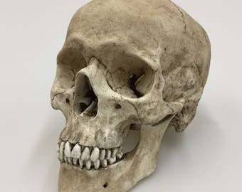 Human Skull Replica with lower mandible Full Size