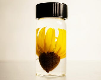 Black-eyed Susan Wet Specimen