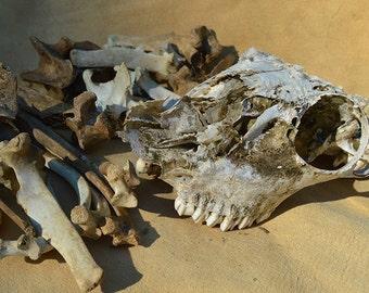 Nature Cleaned Deer Bone Lot
