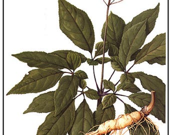 Red Ginseng Extract/Tincture in Scotch Whiskey