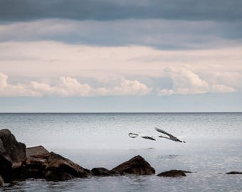 Swans at Scarborough Bluffs Photograph Print