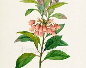 Chinese New Year Flower Art Print, Botanical Art Print, Flower Wall Art, Flower Print, Floral, Redoute, pink,green, Enkianthus quinqueflorus