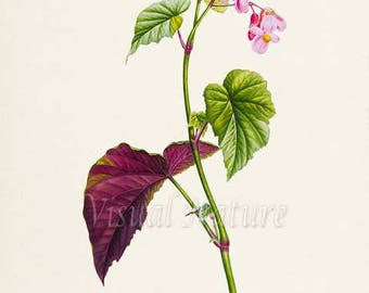 Hardy Begonia Flower Art Print, Botanical Art Print, Flower Wall Art, Flower Print, Floral Print, Home Decor, pink