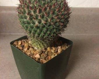 Mammillaria .sp