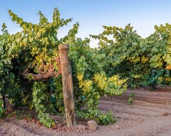 Napa Vineyard at Sunset, fine art photography print, travel photo, wall art, landscape, nature, Northern California, Napa Valley, grape, sun