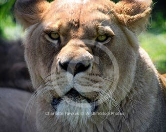 African Lion Lioness Stock Photo