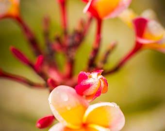 Hawaiian Fine Art Canvas wrap -Yellow Plumeria -Island Flower -Kauai, Hawaii
