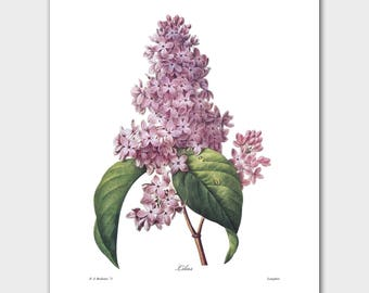 Lilac Art, Botanical Print (Purple Wall Art, Flower Wall Decor) -- Pierre Redoute