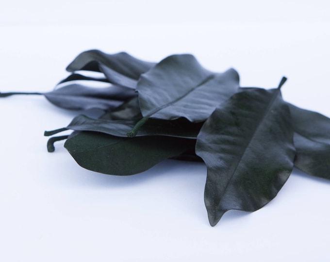 Preserved Magnolia Leaves