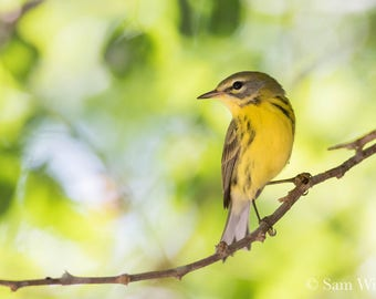 Prairie Warbler on a Florida Mangrove Island - Wild Birds and Nature Photography Wall Art - Yellow Warbler Splash on the Florida Coast