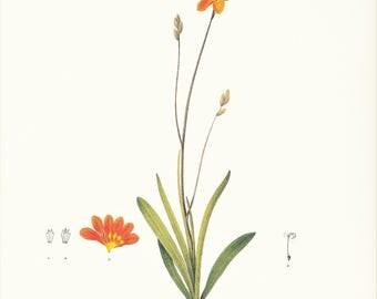 orange Axia Crocata garden flower botanical print vintage illustration Redouté gardening gift plant lover cottage decor 8.5 x 12 in