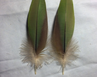 Matching pair of green and red greenwinged macaw feathers