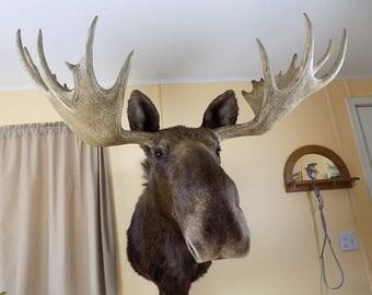 Summer 1938 Jonas Bro. 36 Pt. Bull Moose Shoulder Mount, Taxidermy, Tutt Estate, Animal