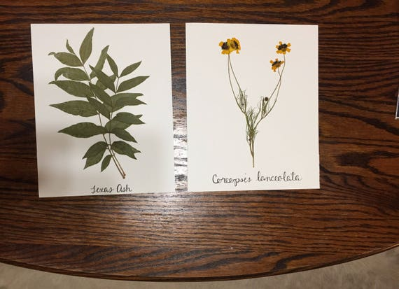 Texas Leaf and Wildflower Art Set- Pressed Texas Ash and Coreopsis Flower- Herbarium Set 8x10  Botanical Art Gallery- Scientific Display