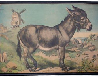 Rare educational chart, donkey, Lithograph, Karl Jansky, Böhmen, 1897