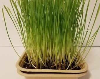 Wheatgrass Microgreens KIt