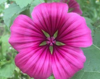 Pink Series II
