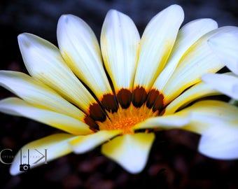 Daisy - Flower Nature Photography, Fine Art, Wall Art, Home Decor, Digital Instant Download Print