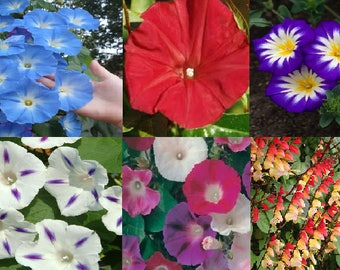 Morning glory- Ipomoea-Climbing flower (6 variety)