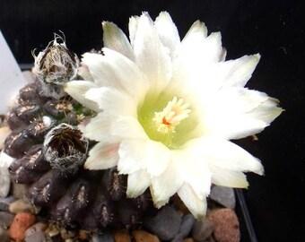 Eriosyce esmeraldana VERY RARE Endangered Cactus White Flowers 5 Seeds #2001