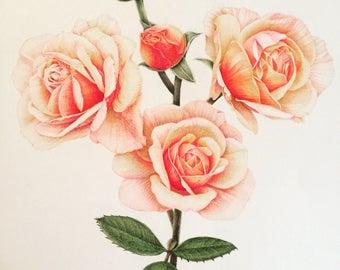 Pink roses/ Watercolor pencil drawing/Botanical art