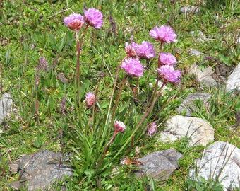 20 Seeds Armeria alpina