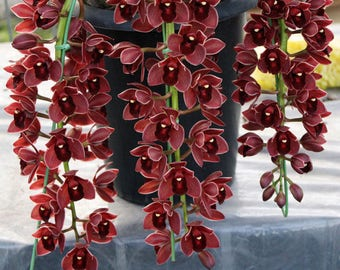 200 Pcs Chinese Cymbidium Orchid Flower Seeds Indoor Potted Home Window Decor