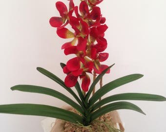 Red Vanda Orchid Plant