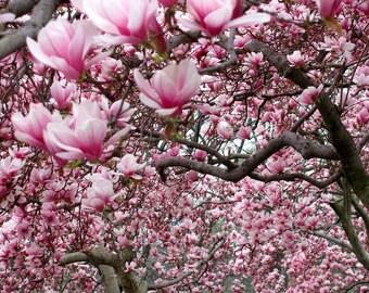 Saucer Soulangeana Magnolia 1 shrub-tree