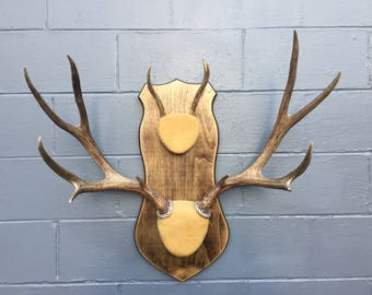 "Taxidermy 30""- 5 X 5 point set+ 3 point MULE DEER ANTLERS Log Cabin Lodge Decor"