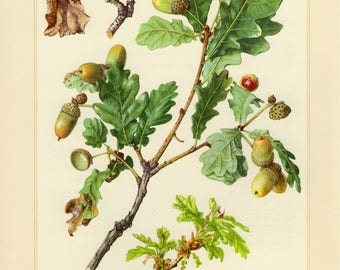Vintage lithograph of pedunculate oak from 1958