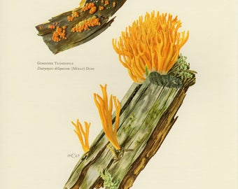 Vintage lithograph of jelly fungi, common jellyspot, yellow stagshorn from 1963