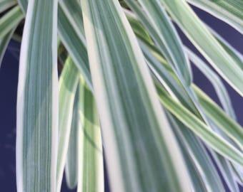 Agapanthus - variegated