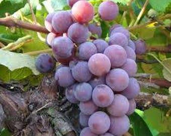 HeirloomSupplySuccess Heirloom Catawba Grape Seeds