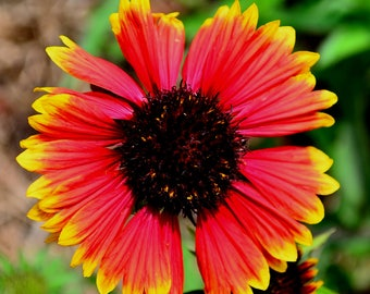 Native Florida Blanket Flower Seeds - Bee and Butterfly Plant - 50 seeds