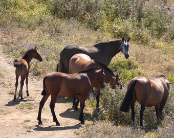Group Of Wild Horses