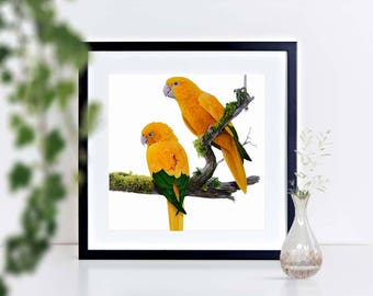 Golden Conures - limited edition signed print, framed or mounted
