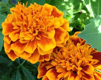 Blank Greeting Card 4: Marigolds