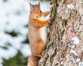 Red Squirrel in Snow Blan...